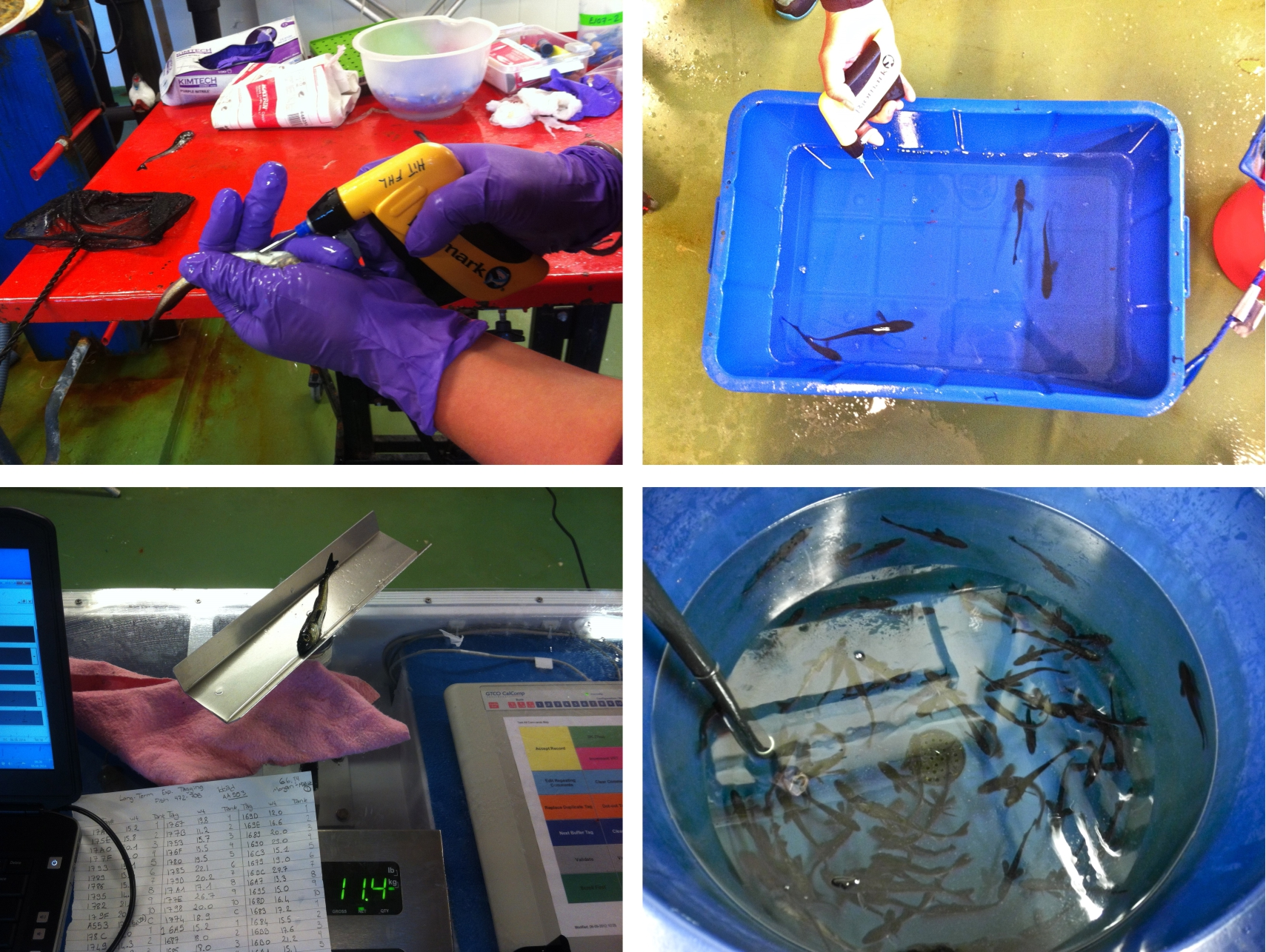 Choose fish carefully - Anesthetize efficiently - Tag tactfully - Measure and weigh accurately - Place promptly in tank - Repeat 700 times